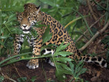 Jaguar  Belize
