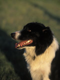 Border Collie Dog Outdoors