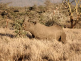 Black Rhino Feeding  Lewa Downs Reserve  Kenya