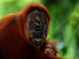 Mother Orangutan with Baby  Pongo Pygmaeus