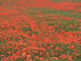 Field of Poppies  Burgenland  Austria