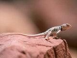 Collared Lizard  Crotaphytus Bicinctores