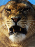 Close-up of Lioness Growling