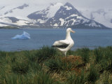 Albatross  Falkland Islands