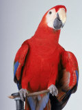 Scarlet Macaw