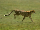 Cheetah  Africa