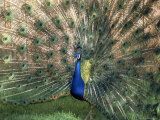Male Peacock (Paro Cristatus)