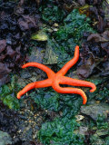 Orange Starfish on Rocks