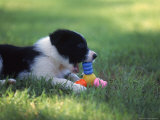 Border Collie Puppy Playing with Toy