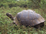 Galapagos Giant Tortoise  Ecuador