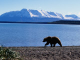 Silhouetted Grizzly Bear Walking Near Water