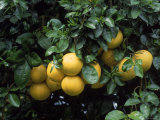 Grapefruit Trees  Brandenton