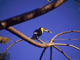 Toucan in Tree  Costa Rica
