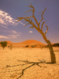 Tree in Namib Desert  Namibia