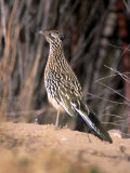 Greater Roadrunner  New Mexico