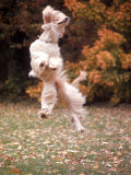 Dog Jumping in Air