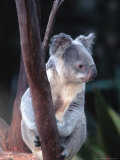 Koala  Australia