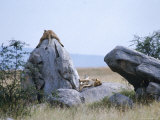 Lioness  Serengeti  East Africa