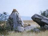 Lioness  Serengeti  East Africa