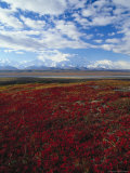 Bear Berries  Mt Mckinley  AK