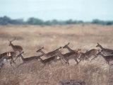 Impala  Serengeti  Tanzania  East Africa