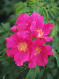 Wild Roses