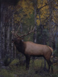Bull Elk in Aspens