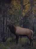 Bull Elk in Aspens