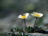 Mountain Avens  AK