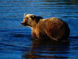 Grizzly Bear  Ursus Arctos Middendorffi