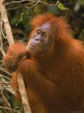Sumatran Orangutan  Pongo Pygmaeus
