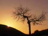 Cottonwood Tree Silhouetted with Sunrise