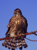 Goshawk on Tree Limb