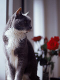 Cat Near Window with Roses in Background