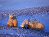 Polar Bear & Cubs  Thalarctos Maritimus