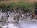 Burchell's Zebras  Equus Burchelli  Tanzania