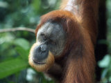 Male Sumatran Orangutan  Pongo Pygmaeus  Indonesia