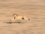 Cheetah Sprinting Across Grasslands