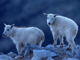 Mountain Goats on Mt Evans  CO