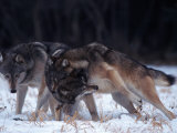 Gray Wolves in Dominance Struggle  Canis Lupus  MN