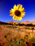 Wild Sunflower Along Dirt Road  SD
