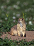 Black-Tailed Prairie Dog  Cynomys Ludovicianus  CO