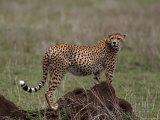 Cheetah  Acinonyx Jubatas  Tanzania