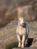 Baby Mountain Goat  Oreamos Americanus  CO