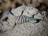Baja Rock Lizard (Petrosaurus Thalassinus)