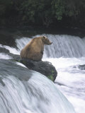 Brown Bear Fishing at Brooks Falls  Katmai National Park