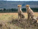 Cheetah Cubs  Masai Mara  Kenya