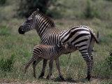 Burchell's Zebra Foal Nursing  Tanzania