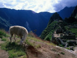 Inca Ruins of Machu Picchu  Llama  Peru