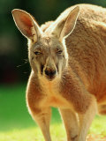 Australian Red Kangaroo